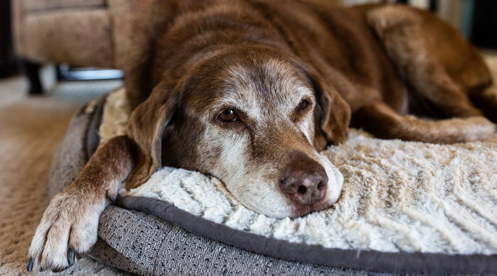 A big older dog wishing he had a bed