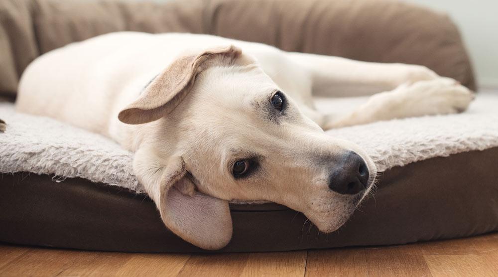 A dog sleeping on a comfy mattress - possibly memory foam!