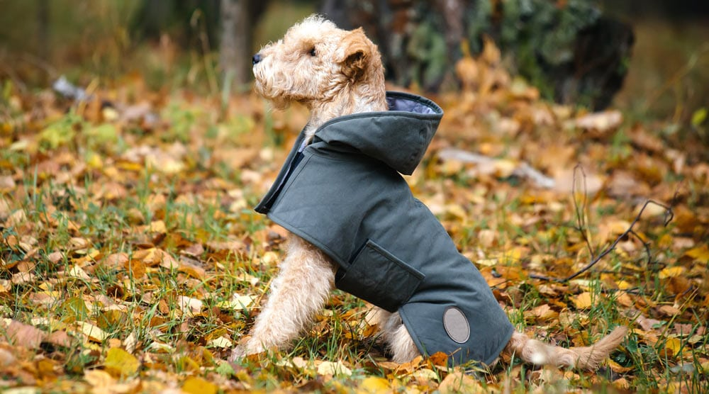A dog with a coat standing in leaves