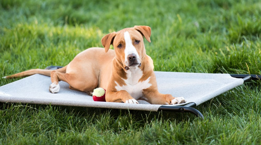 A dog in an example of a basic elevated bed