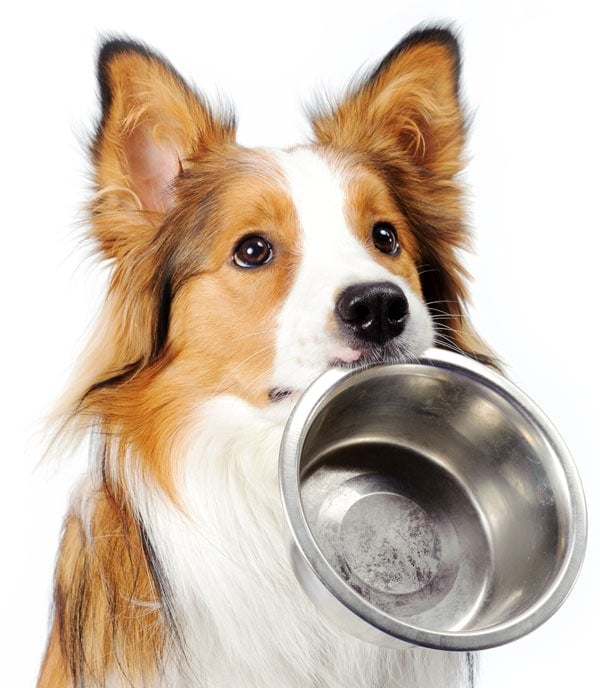 A dog begging with a food bowl