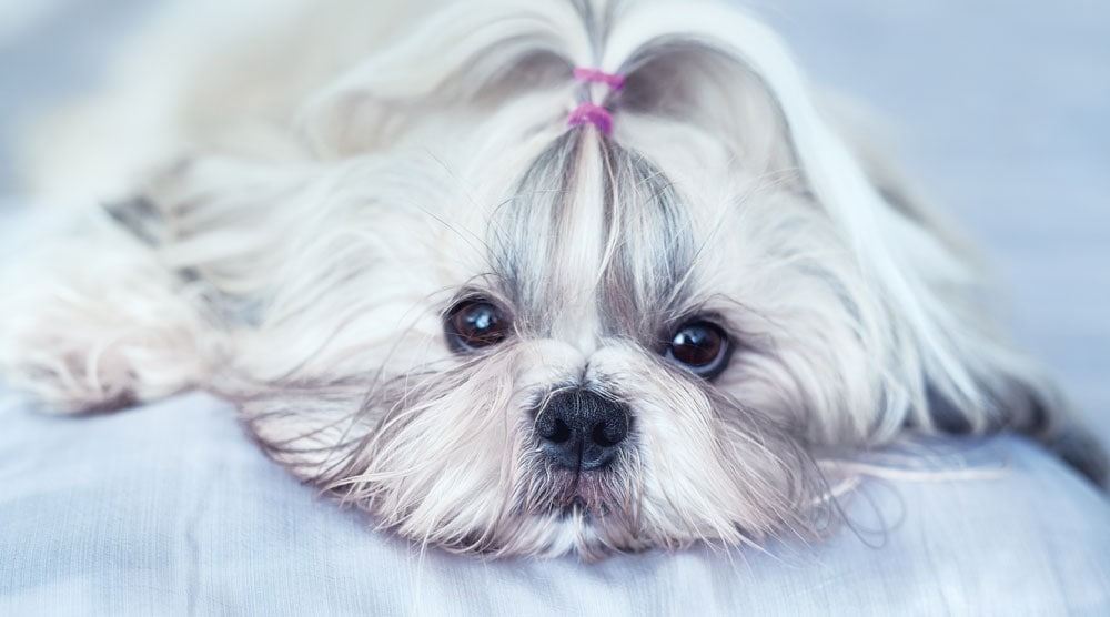 A guide to grooming clippers for shih tzus