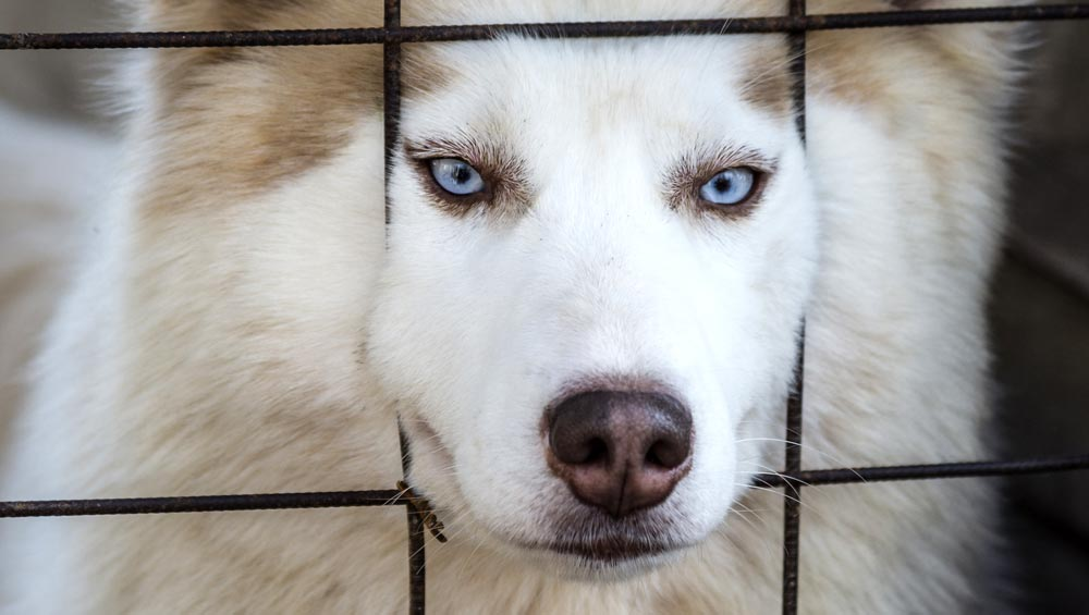 A Husky behind bars