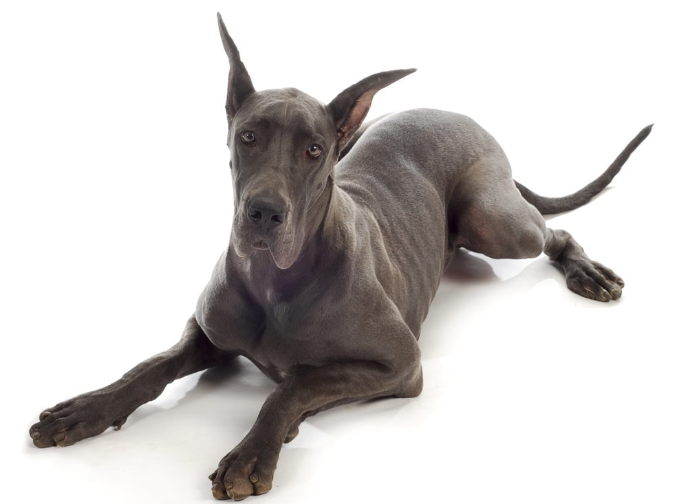 A Great Dane laying down