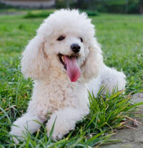 A poodle laying on the grass