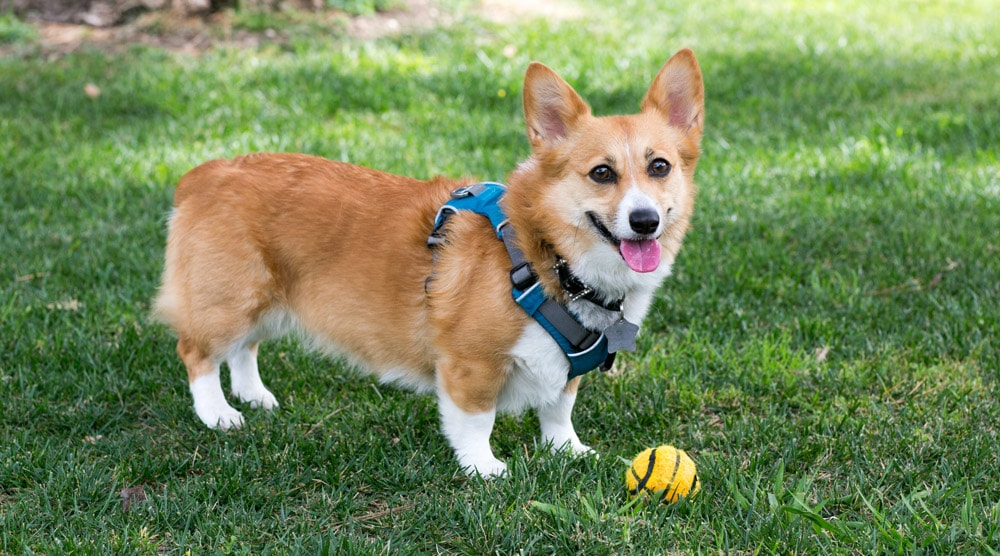 Dog wearing corgi harness.