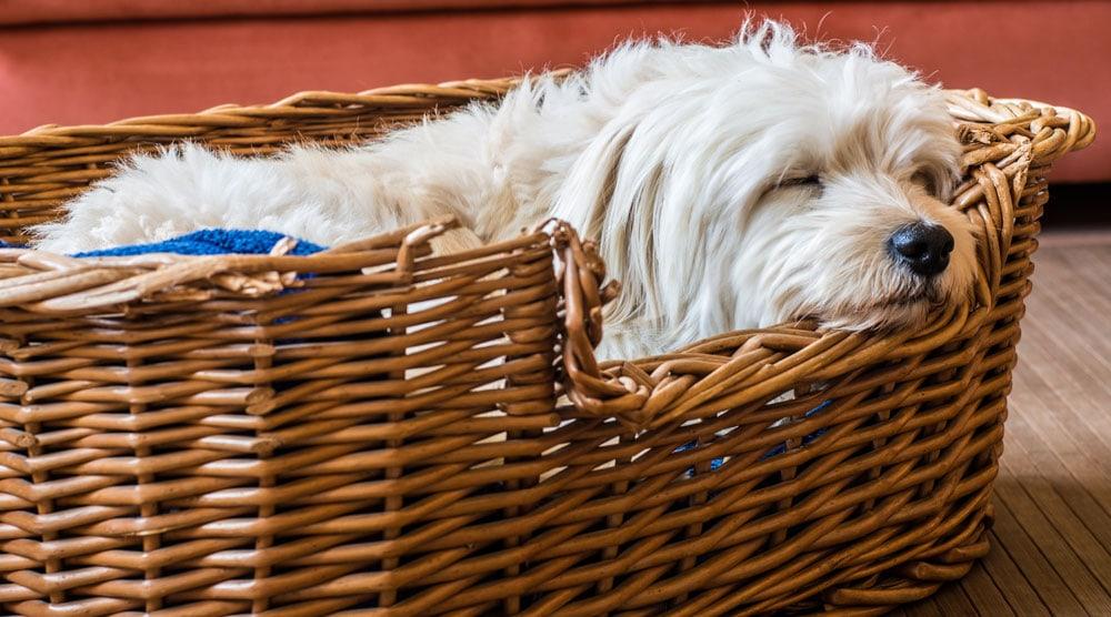 Pooch in a wicker dog bed