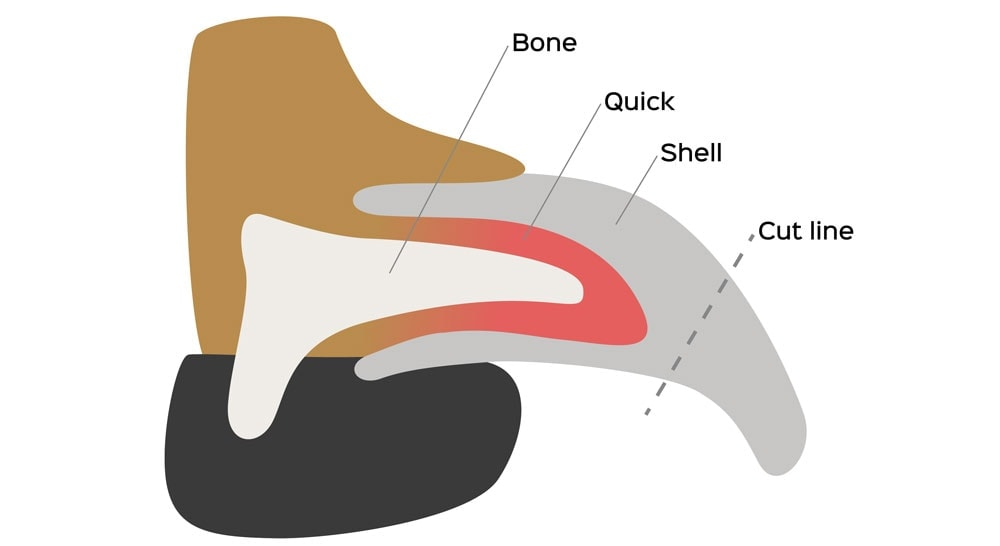 A diagram of a dog's nail, including the quick and shell