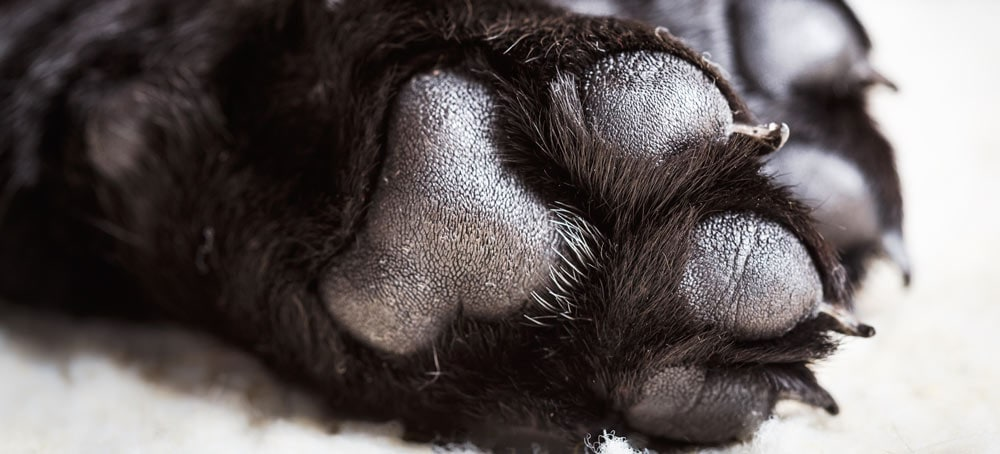 A dogs paw pads are tough, but can still be damaged
