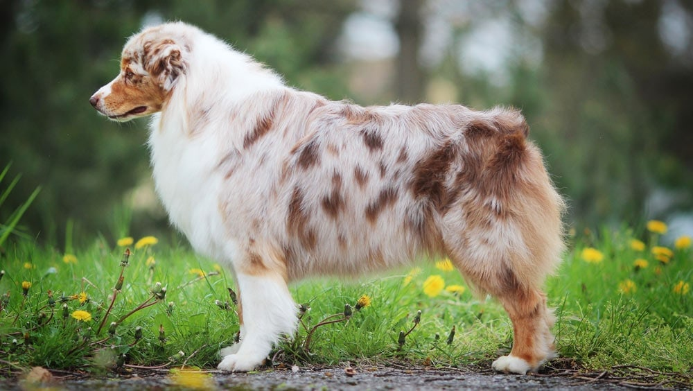Example of an aussie coat