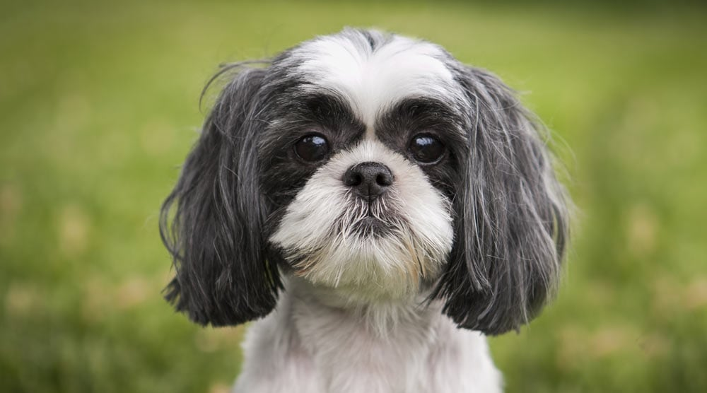 Best shampoo for Shih Tzus (plus tips for choosing a shampoo and conditioner)