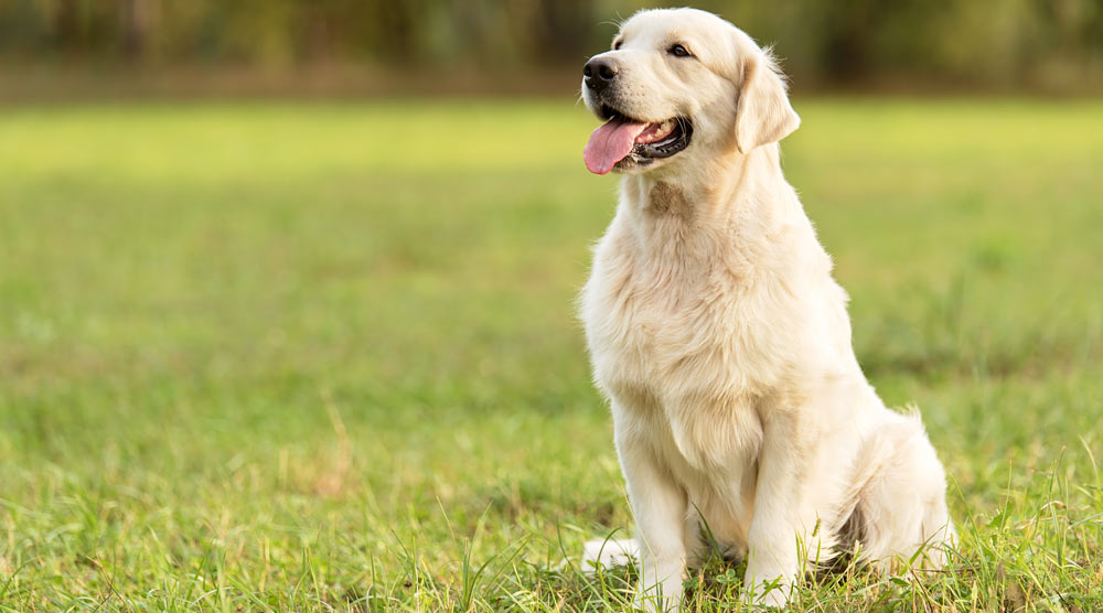 A guide to the best brushes for golden retriever dogs