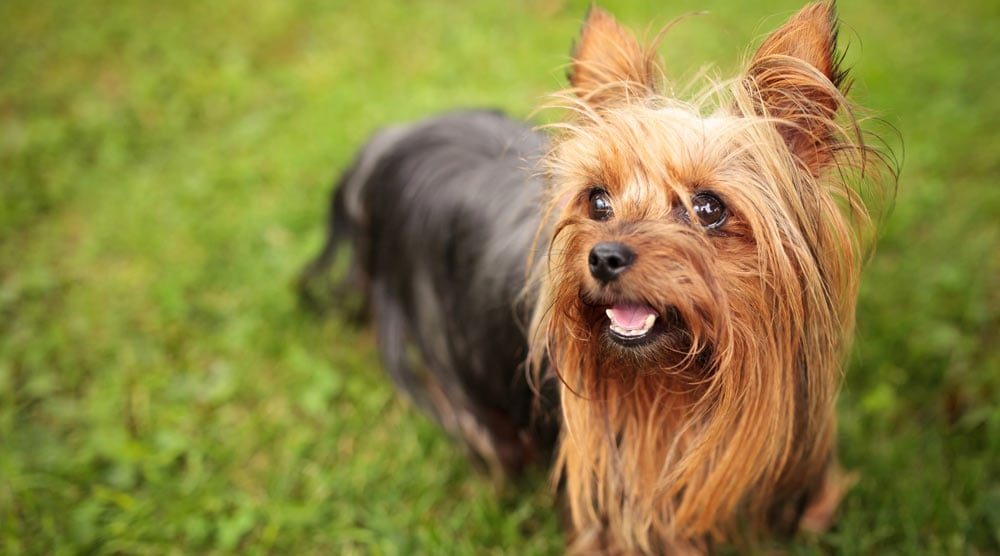 A guide to the best brush for yorkies