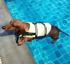 Your weiner dog should wear life jackets whenever he's near water - including in pools.