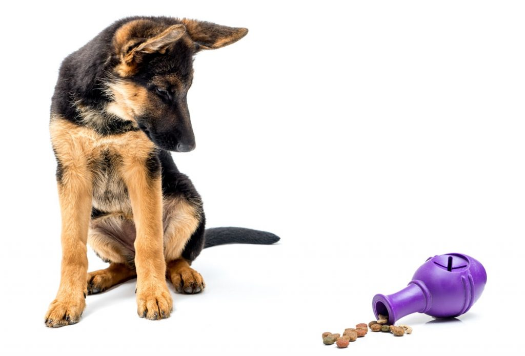 German Shepherd puppy looking at a toy