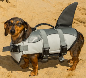 A wiener dog in a shark outfit