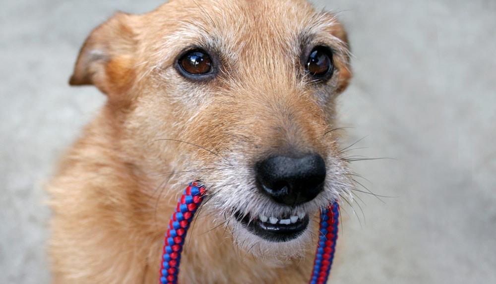 A dog holding a leash