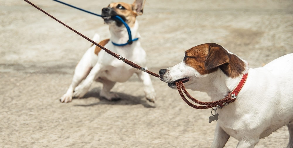 Two dogs pulling their leashes