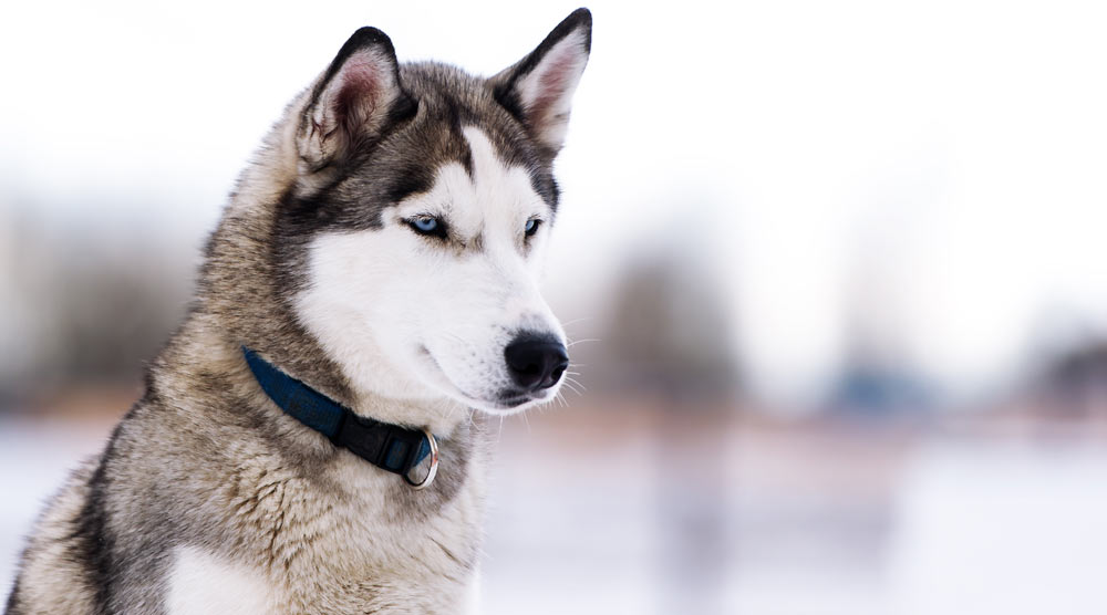 A guide to the best collars for huskies
