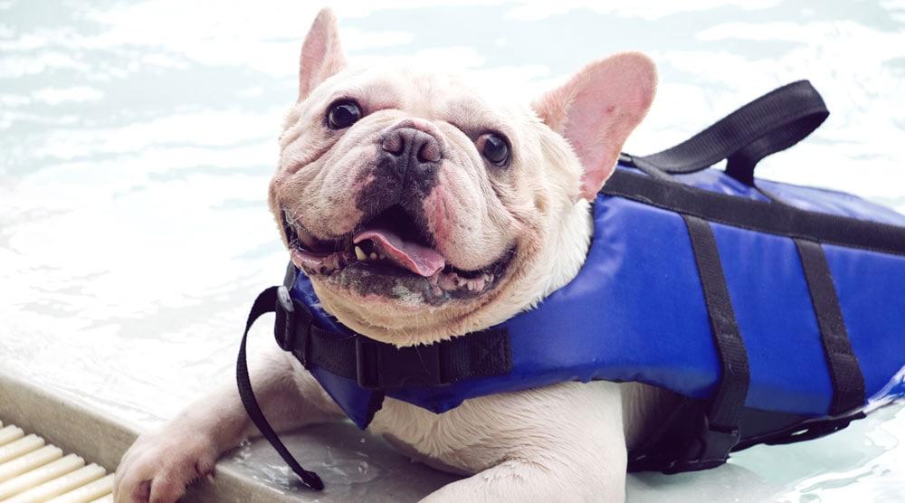 French bulldog life jackets
