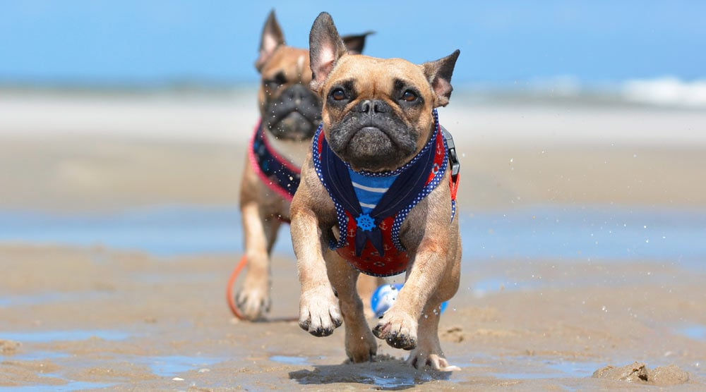 A guide to the best harnesses for French Bulldogs