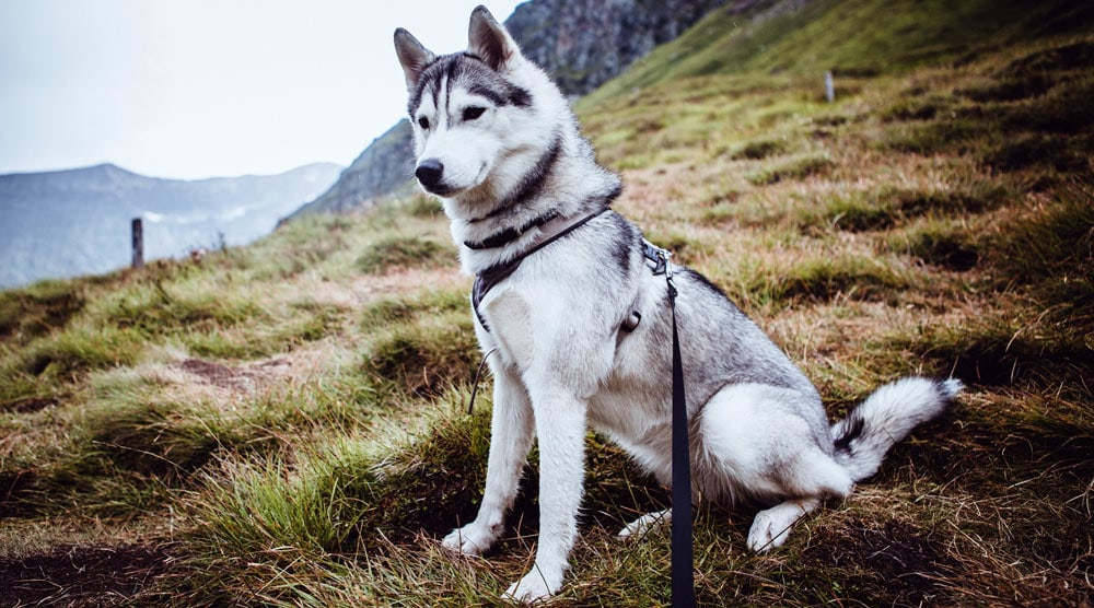 A guide to husky harnesses