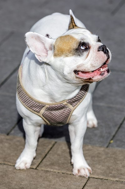 Frenchie Bulldog looking up on pavement