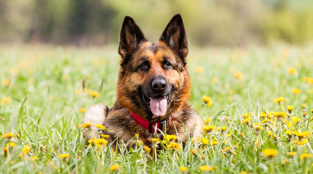 A guide to the best collars for German Shepherds